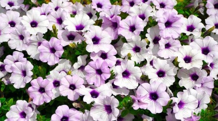 flowers that get rids of pests