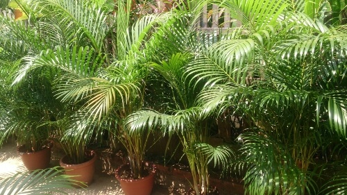 Areca palm is a natural humidifier helping induce sleep