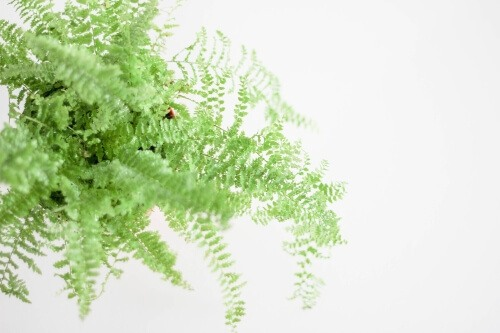 Boston fern helps induce sleep by providing better air quality