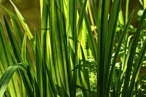 Calamus calms nerves and acts as a sedative inducing a cosy sleep