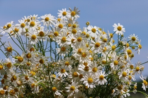 Chamomile soothes a busy mind to help drift off to sleep