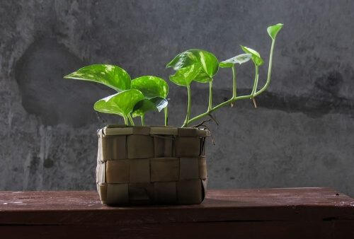 Golden Pothos eliminates formaldehyde from the air