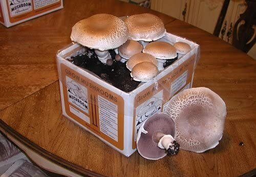 Growing kit for portobello mushrooms in a box at home