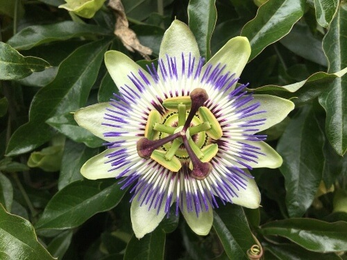 Passion flower has a tranquilizing fragrance inducing a great nights sleep
