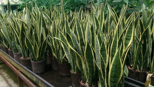 Snake plant helps you sleep better at night
