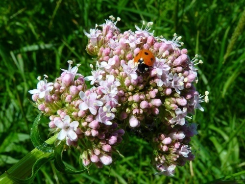 Valerian is a muscle and nerve relaxant, to assist in a better nights sleep