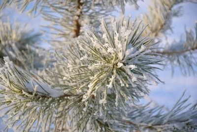 when to best remove pine needles