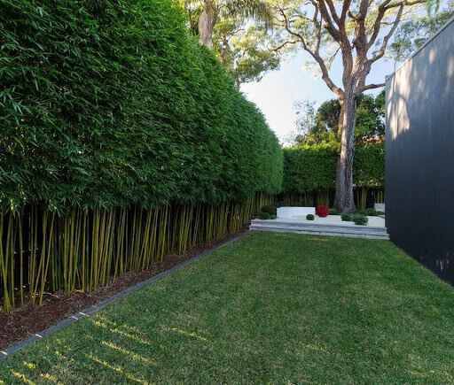 Bamboo for fast growing plants for hedging