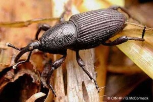 Banana Weevil is a root borer