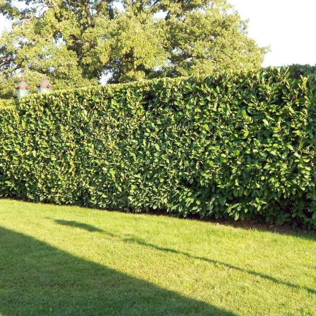 Bay Laurel is one of best plants for hedging