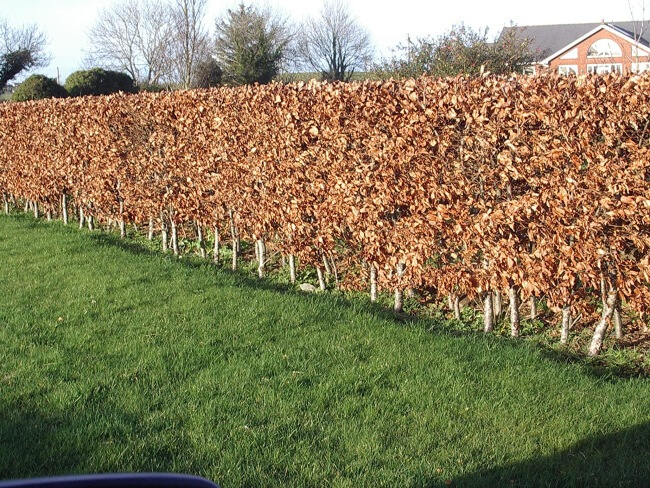 Beech as fast growing hedges