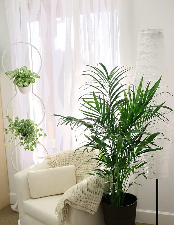 Benefits of Having Cat Palms in your home, is to purify the air