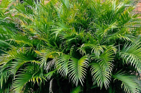 Cat Palms require regular watering to keep the soil moist