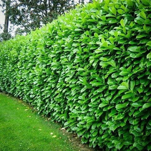 Cherry Laurel fastest growing hedging plant
