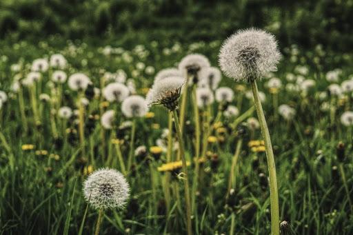 Dandelions Friend or Foe For a Gardener