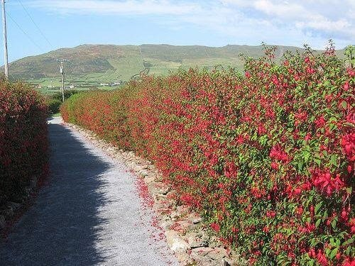 Fuchsia plants for hedging