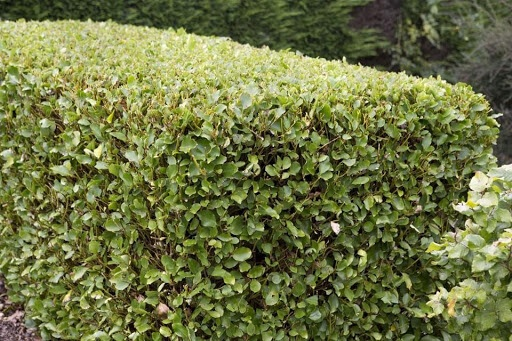 Griselinia Hedging one of fastest growing hedging plants