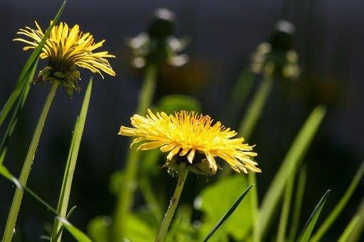 How To Deal With Dandelions In Your Garden
