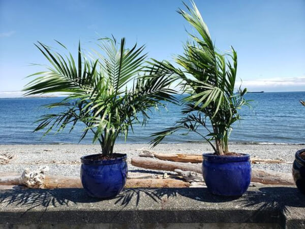 What are Cat Palms?