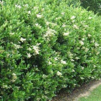 privet hedging top hedging plant