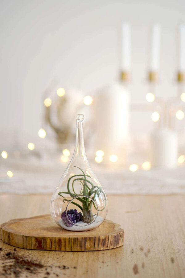 Air plants are very easy to care for because they absorb water through their leaves