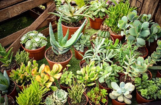 Cactus or cacti plants belong to the family of Cactaceae