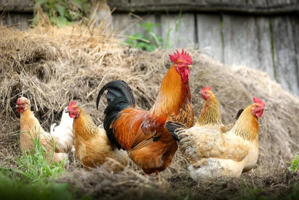 Chickens feed on insects and can eat large amounts of ticks