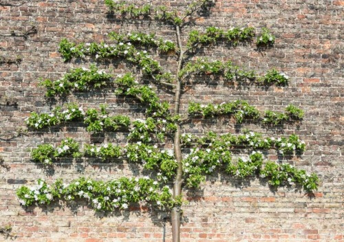 Espalier is an ingenious way of training your trees so that the branches grow horizontally