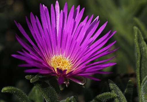 Hardy Ice plant is a perfect add-on in your lawn for this summer because of the colorful bloom.