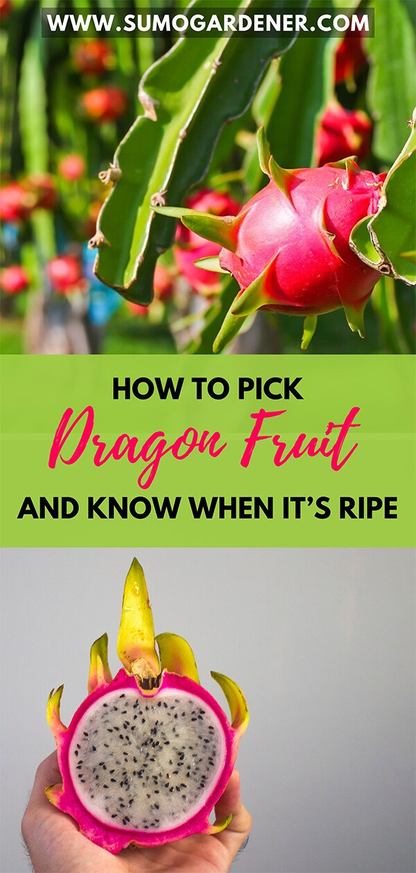 How To Pick Dragon Fruit and Know When it's Ripe
