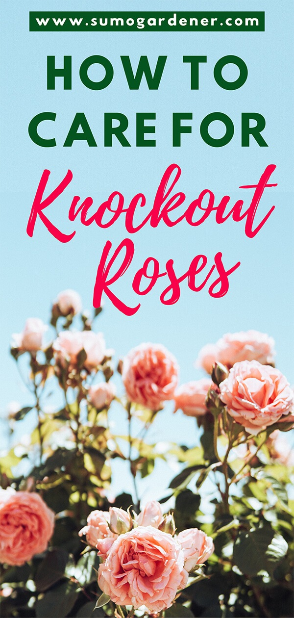 How to Care for Knockout Roses