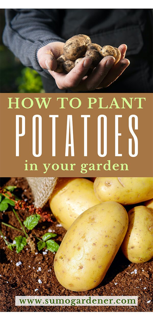 How to Plant Potatoes in Your Garden