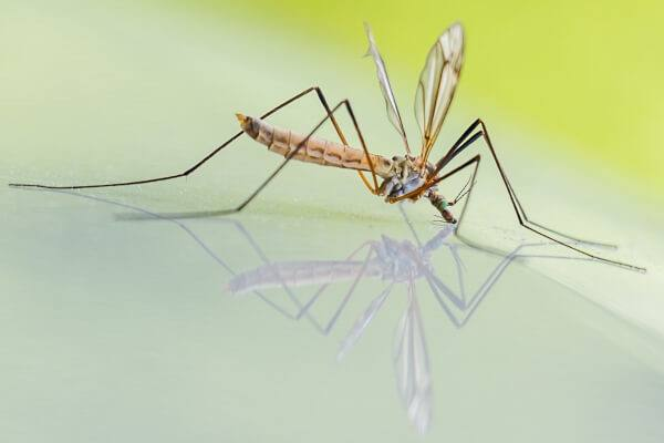 Mosquitoes fall into the category of pests that detest the smell and taste of household vinegar
