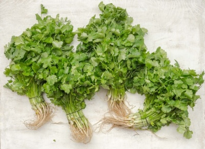 What is a cilantro plant?
