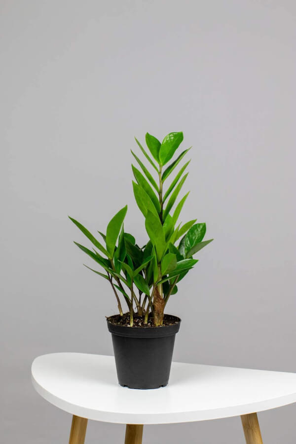 ZZ plant can grow in low, medium or bright light