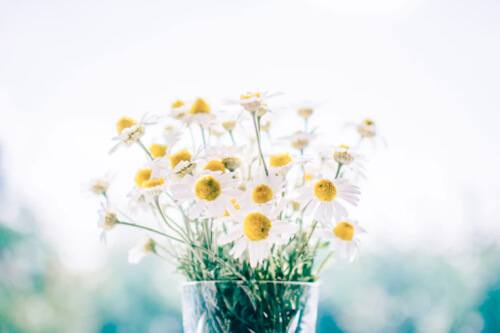 Chamomile is an herb with green feathery leaves and white and yellow flowers