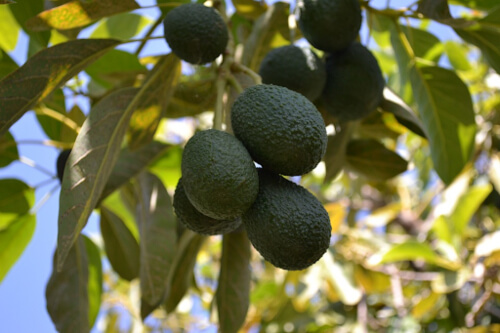 Commercial avocado varieties are the easiest to grow from seed