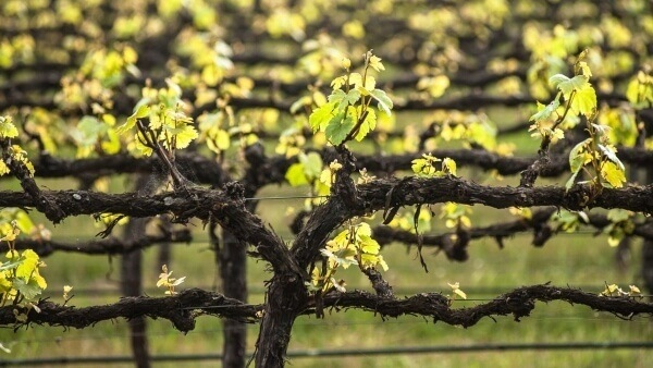 Different Ways on How to Prune Grape Vines