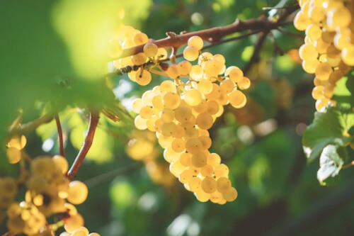 Grape seed extract has a wide range of potential medicinal benefits