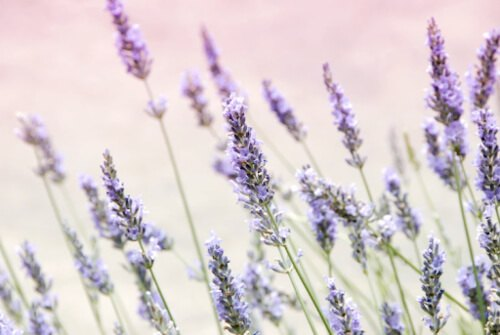 Lavender has a remedial effect on anxiety, stress, and insomnia
