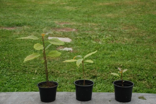 Tips for caring for your avocado tree indoors