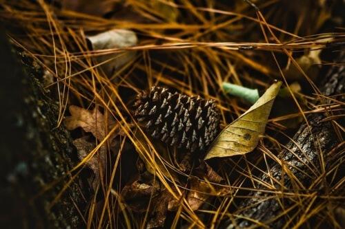 Using Pine Needle as Mulch