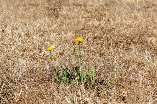 When you realize that your lawn is drying up easily, it is a sign that your lawn requires some aeration