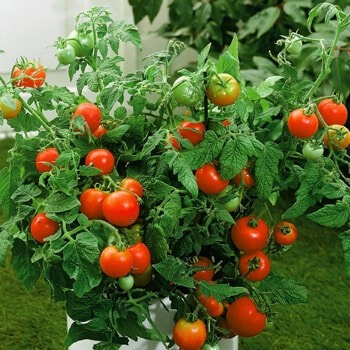 tomato plants that will produce the most fruits are the ones that received the most nutrients from the soil