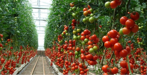 you need to put up spaces between your tomatoes in order for their roots not be entangled with one another